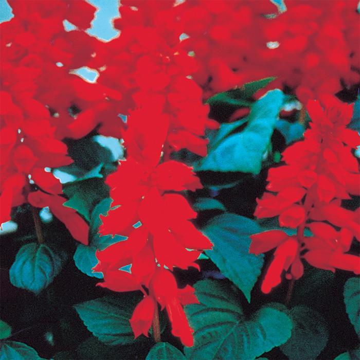 Red Vista Salvia
