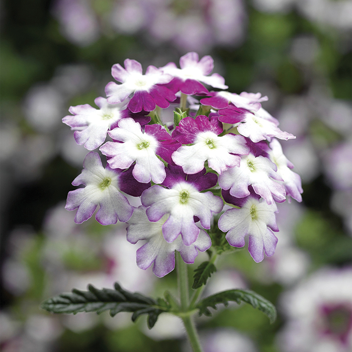 Purple Obsession Twister Verbena