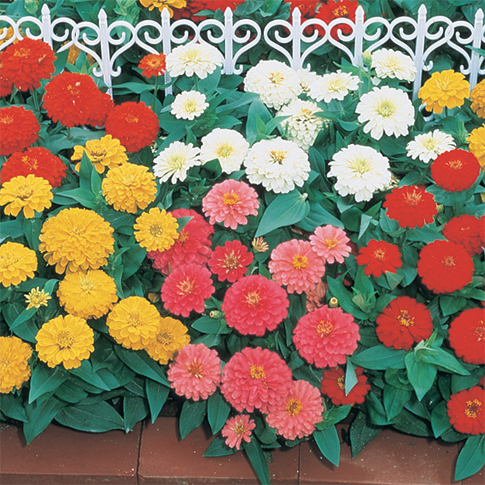 Dreamland Mix Hybrid Zinnia