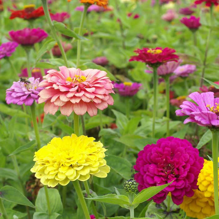 Giant Dahlia Flowered Mix Zinnia