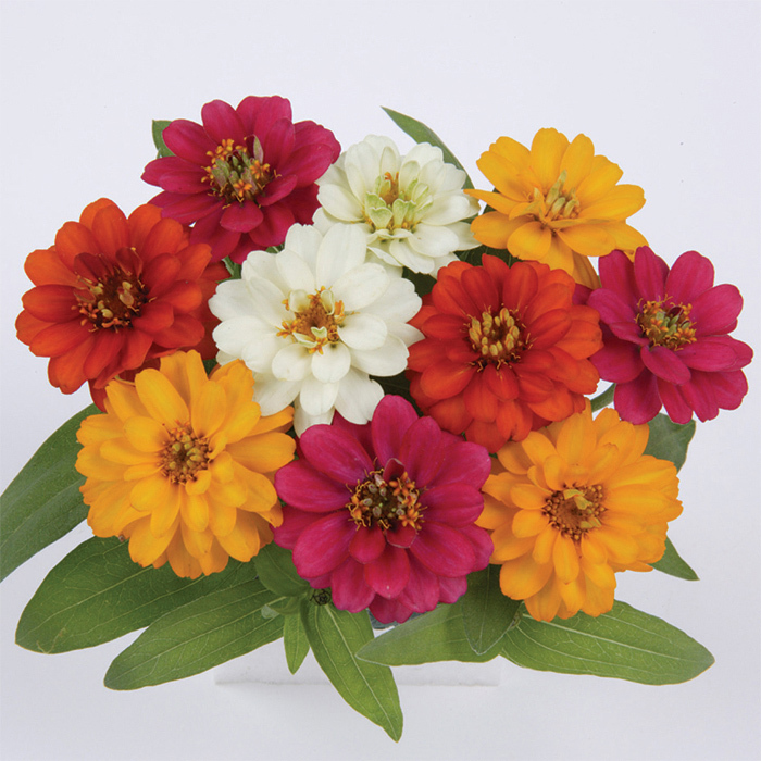 Profusion Mix Zinnia
