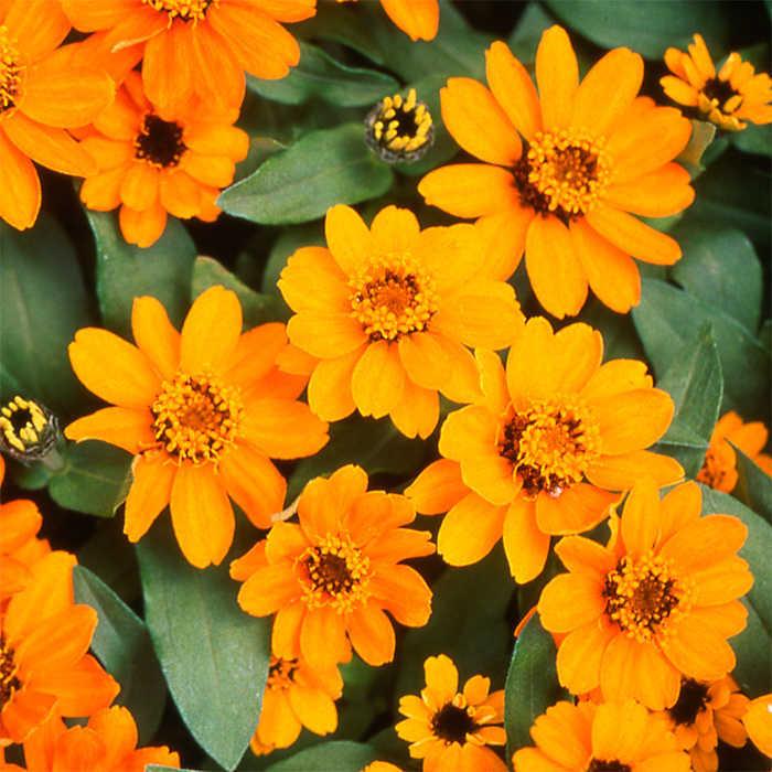 Orange Profusion Hybrid Zinnia