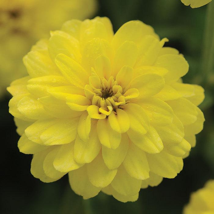 Zahara Double Yellow Zinnia