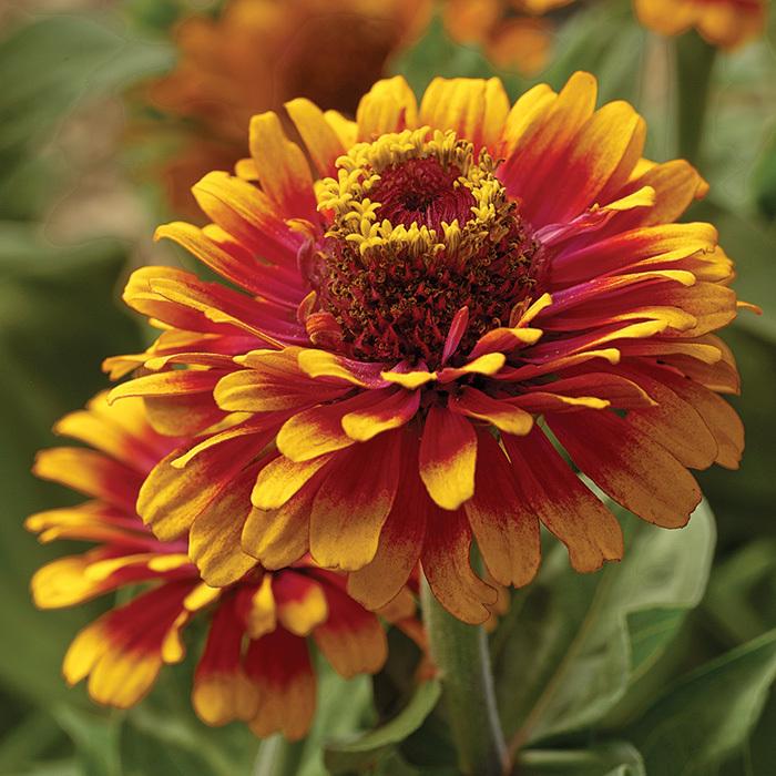 Zowie Yellow Flame Hybrid Zinnia