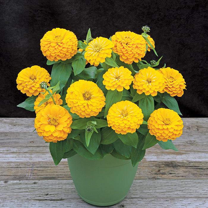 Yellow Preciosa Hybrid Zinnia