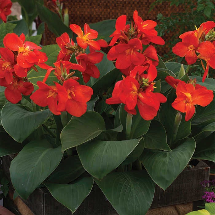South Pacific Scarlet Hybrid Canna