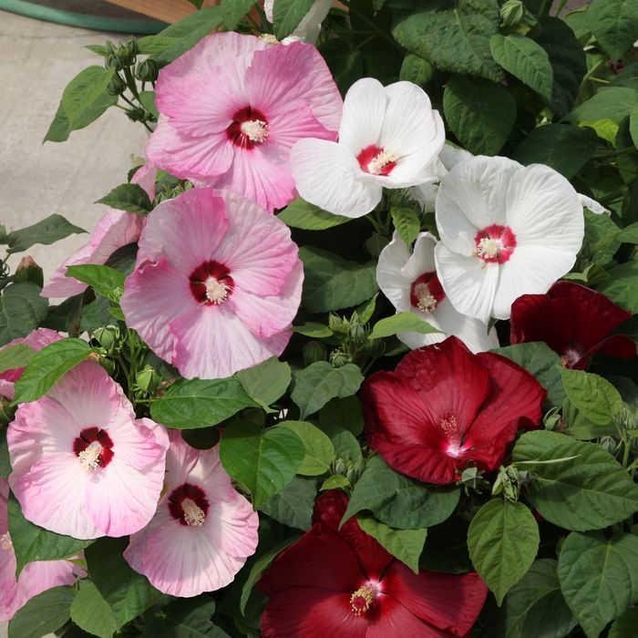 Honeymoon Mix Hybrid Hibiscus