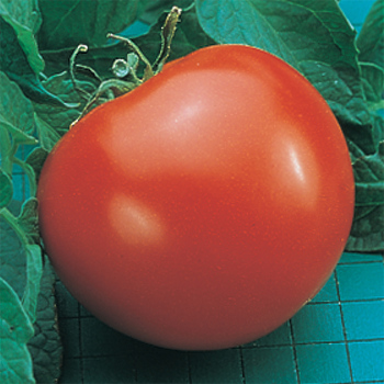 Goliath Hybrid Tomato - Pixie Stakes