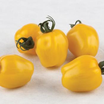 Apple Yellow Hybrid Tomato