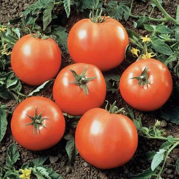 Ball's Beefsteak Hybrid Tomato