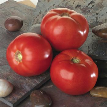Bella Rosa Hybrid Tomato