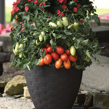 Bellatrix Hybrid Tomato