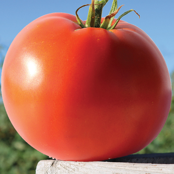 Big Beef Plus Hybrid Tomato