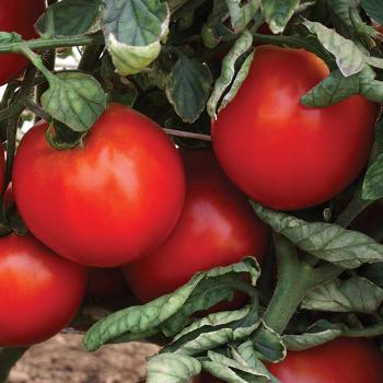 Camaro Hybrid Tomato