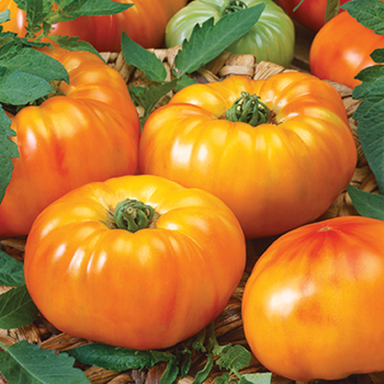 Chef's Choice Bi Color Hybrid Tomato