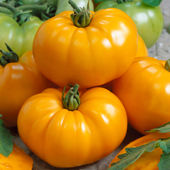 Chef's Choice Yellow Hyb Tomato