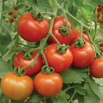 Cluster Goliath Hybrid Tomato