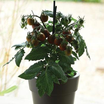 Edible Potted Coca Tomato Hybrid