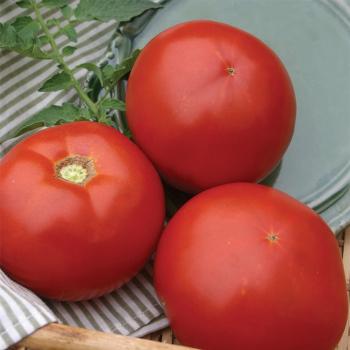 Fletcher Hybrid Tomato