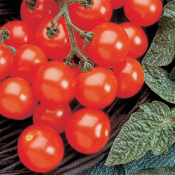 Husky Cherry Red Hybrid Tomato