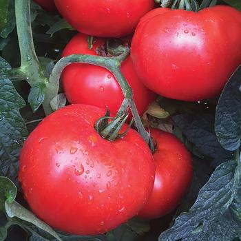 Jolene Hybrid Tomato
