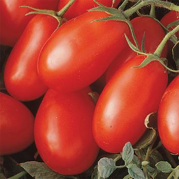 La Roma III Hybrid Tomato