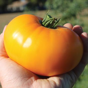 Lemon Boy Plus Hybrid Tomato