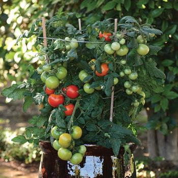 Little Sicily Vvf Tomato