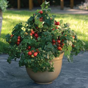 Little Bing Hyb Tomato Pixie Stakes