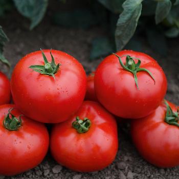 Mountain Gem Hybrid Tomato