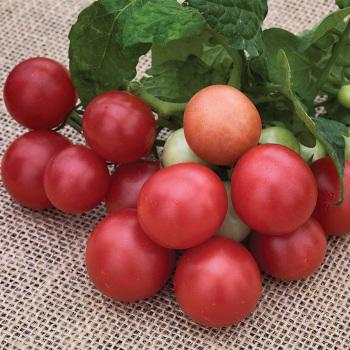 Rosy Finch Tomato Pixie Stakes