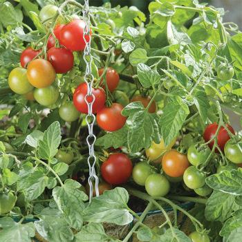 Terenzo Hybrid Tomato