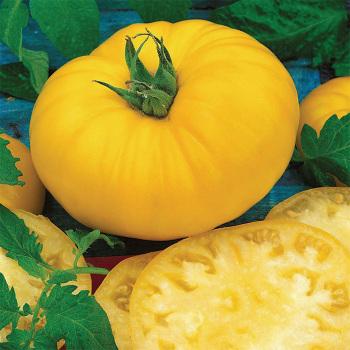 Yellow Brandymaster Hybrid Tomato - 1000 seeds