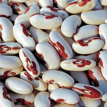 Soldier Bean
