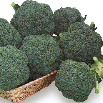 Thunder Dome Hybrid Broccoli