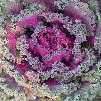 Rainbow Candy Crush Hybrid Kale