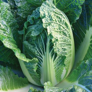 China King Hybrid Chinese Cabbage