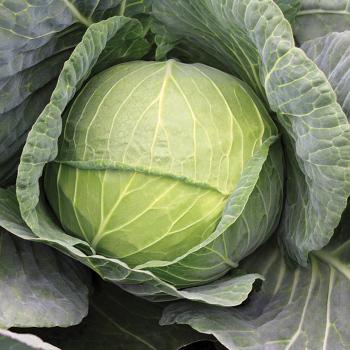 Hercules Hybrid Cabbage