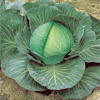 O-S Cross Improved Hybrid Cabbage