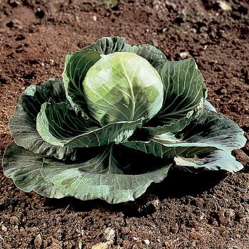 Golden Cross Hybrid Cabbage