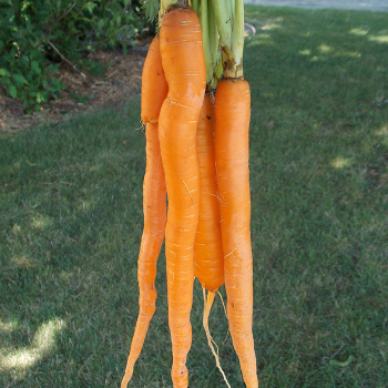 Imperator Or Tendersweet Carrot