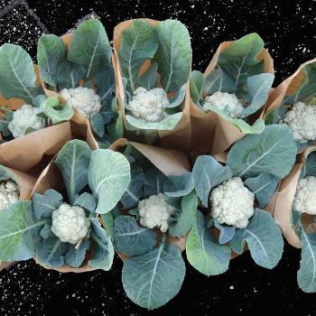 Baby Hybrid Cauliflower