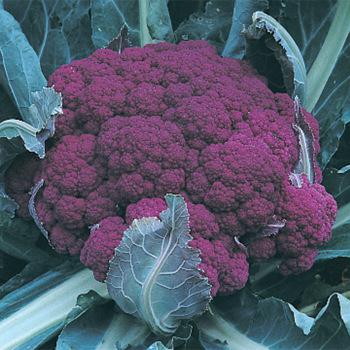 Graffiti Hybrid Cauliflower