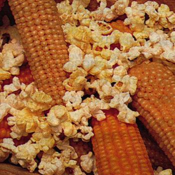 Robust Yellow Hybrid Popcorn