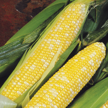 Delectable Hyb Sweet Corn