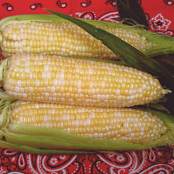 Luscious Bi-Color Hyb Sweet Corn