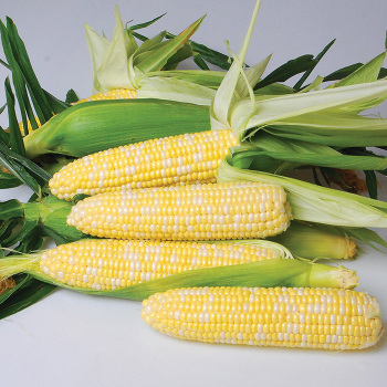 Nirvana Hybrid Sweet Corn
