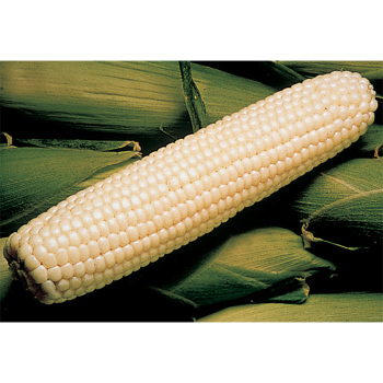 Silver King Hybrid Sweet Corn