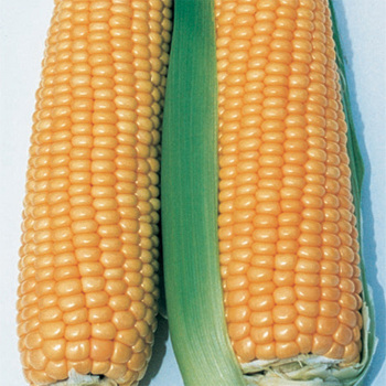 Illini Xtra Sweet Yellow Sweet Corn
