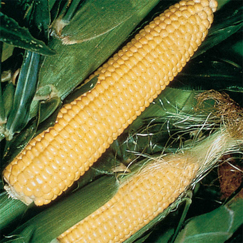 Jubilee Sweet Corn